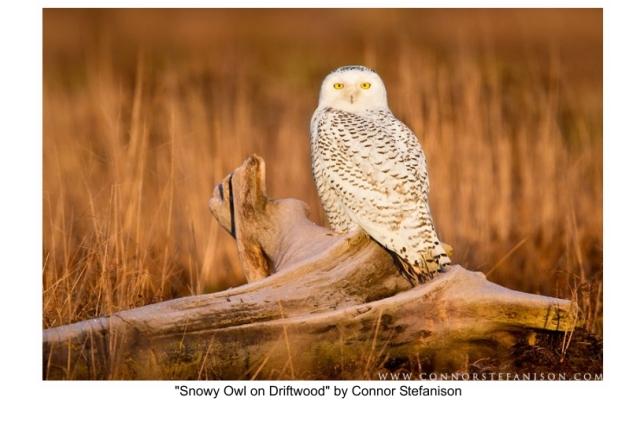 """Snowy Owl on Driftwood"""