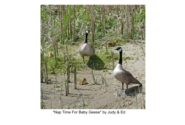 Nap time for Baby Geese