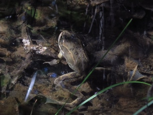 A Columbia Spotted Frog found at Boothman's Oxbow