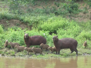 A family of capybaras in the Bolivia wetlands. Image courtesy of www.mongabay.com