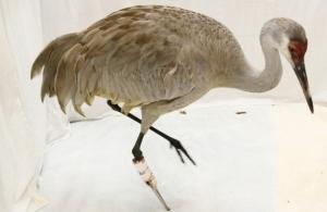 Sandhill crane's new prosthetic leg. Image courtesy of www.ottawacitizen.com