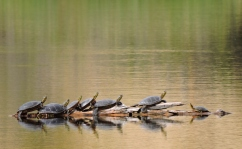 Turtles at one restoration site.